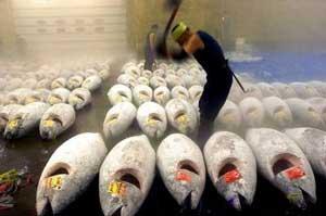 atunes rojos congelados troceados con hacha