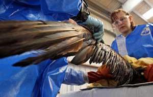 a un ave la limpian el petróleo