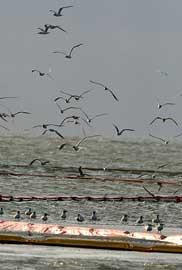 aves vuelan junto a flotadores de contención de la marea negra