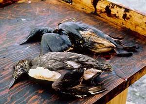 aves marinas empapadas de petróleo