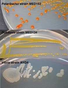 bacterias con proteorhodopsina