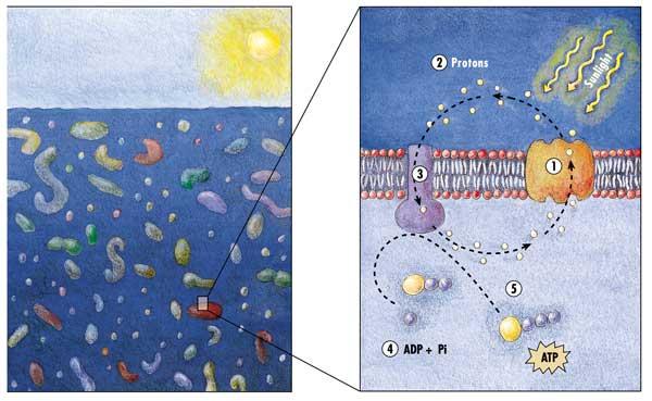 bacterias del océano aprovechan la luz solar