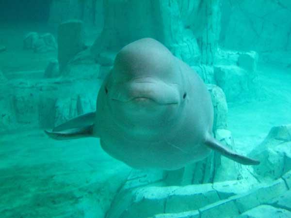 ballena beluga L'Oceanogràfic