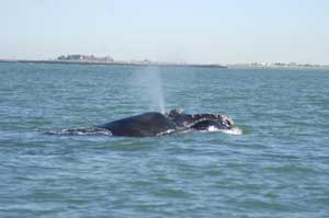 ballena franca de Atlántico Norte