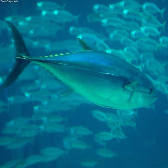 banco de atún rojo