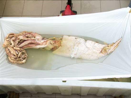 calamar gigante pre-plastinacion