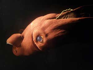 calamar vampiro (vampyroteuthis infernalis)