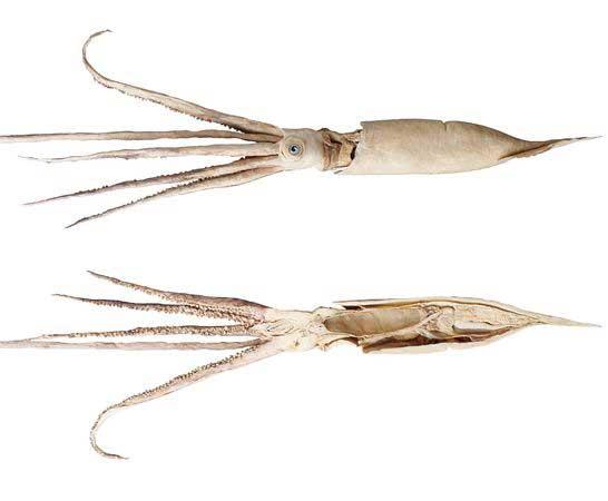 calamares gigantes plastinados mostrando su interior