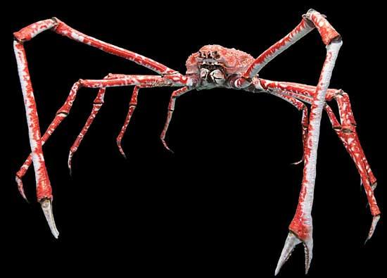 cangrejo gigante araña japonés