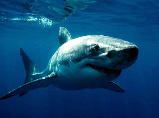 Gran tiburón blanco (Carcharodon carcharias)