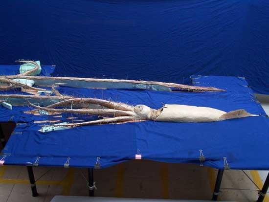 colocando en posición al calamar gigante