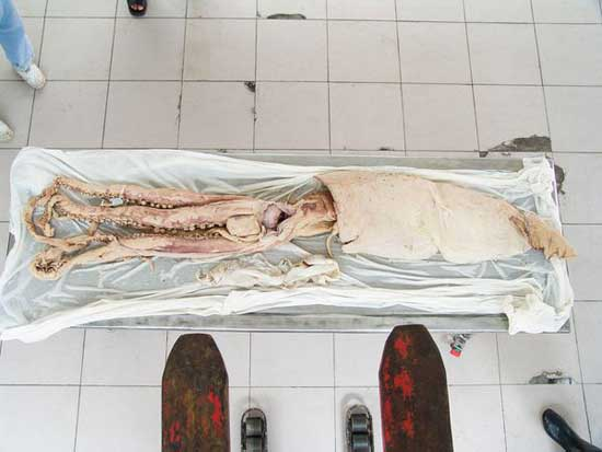 cominezo de plastinación de calamar gigante
