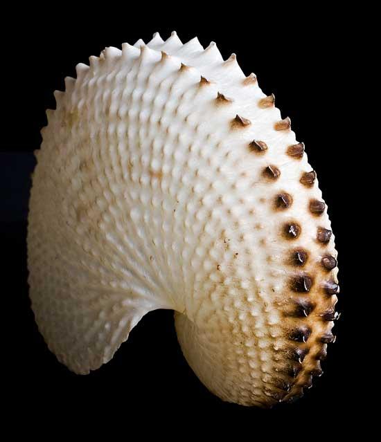 concha papel nautilus