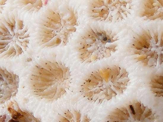 coral blanco