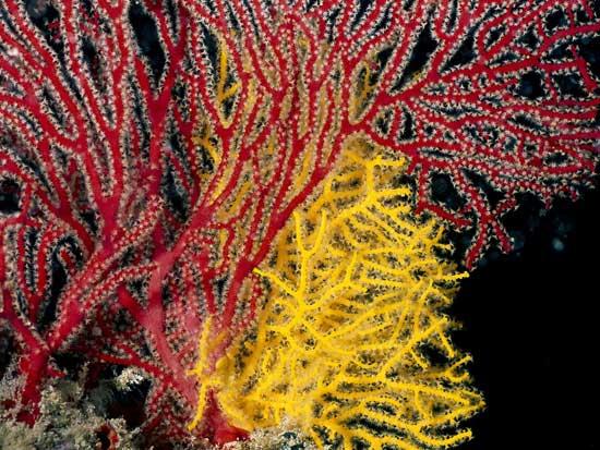 coral rojo y amarillo