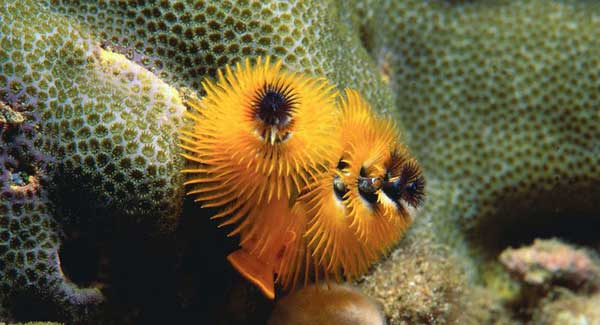 coral scarborough