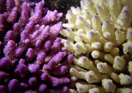 corales en la Gran Barrera australiana, Queensland