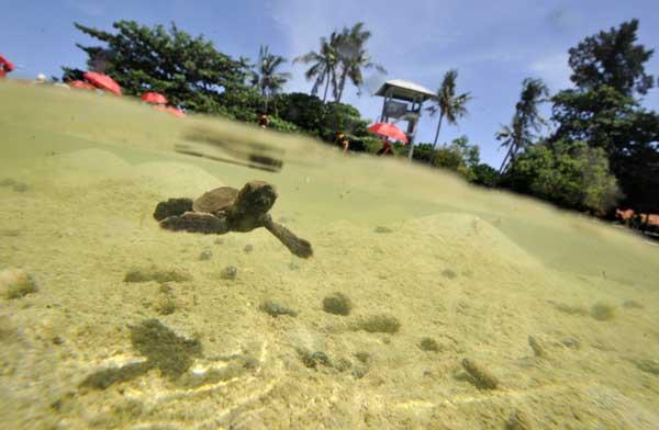 cria de tortuga carey