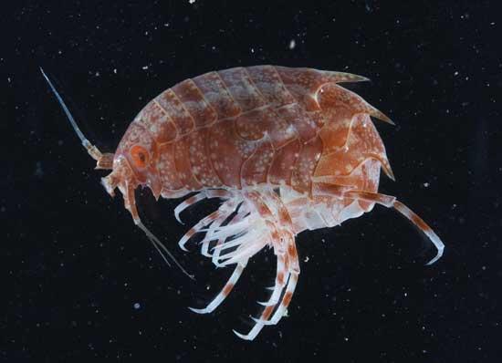 crustaceo Antártida