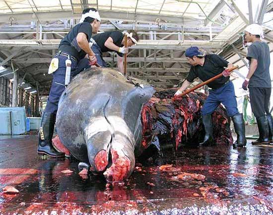 despiece de una ballena preñada