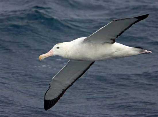 Albatros errante (Diomedea exulans)