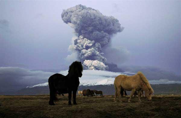erupción del volcán Eyjafjalla, caballos pastando
