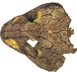 Fedexia striegeli, cráneo
