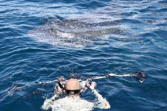 filmando tiburón ballena en Ahe, Scubasigns