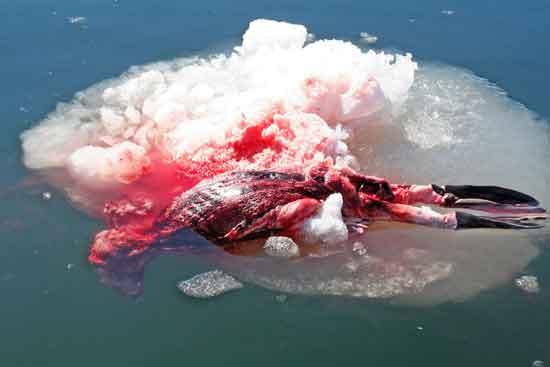 foca despellejada en Canadá