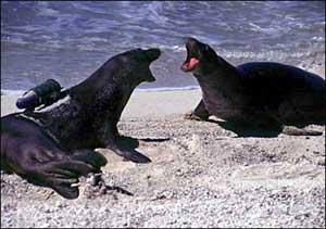 focas con crittercam