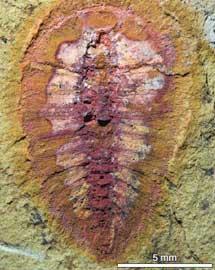 fósil del periodo Ordovícico, Marruecos