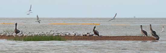 golondrinas de mar, gaviotas y pelícanos en Lousiana
