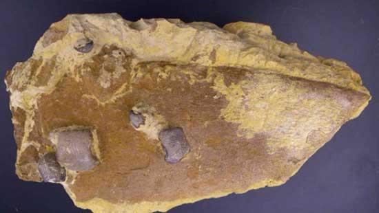 mandíbula fósil de tiburón gigante
