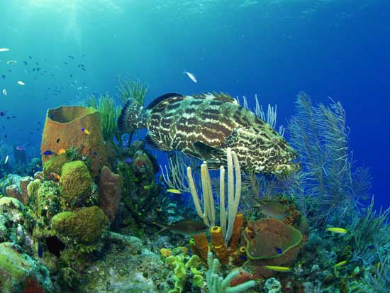 mero en arrecife de coral