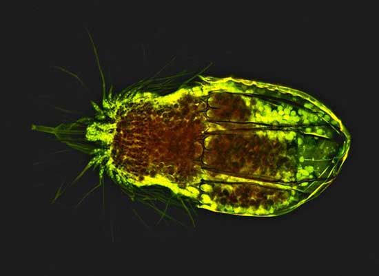 microbio loriciferans