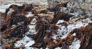 muerte algas coralinas por el tsunami Chile