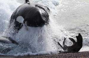 orca ataca una foca