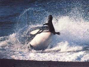 orca caza a una foca