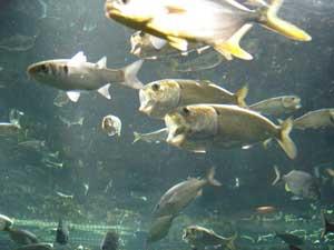 pez menhaden del Golfo de México