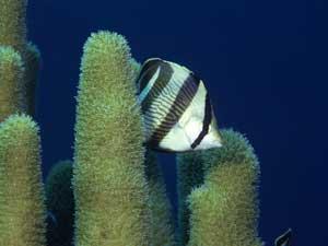 pez payaso en arrecife de coral