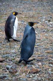 pingüino emperador negro y pareja