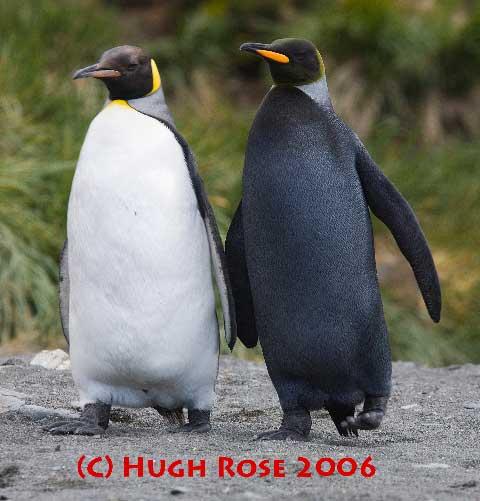 pingüino emperador negro, quizás retocada
