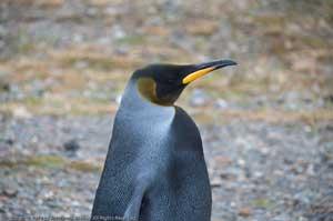 pingüino emperador negro, primer plano