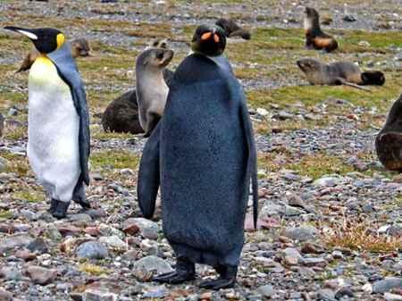 pingüino mutante negro