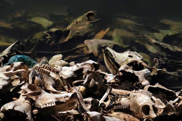 restos de esqueletos de ganado