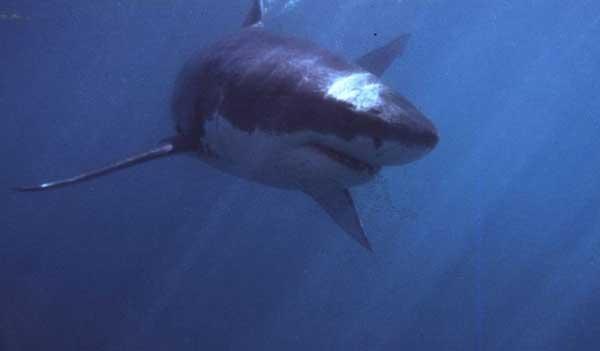 tiburón ataca a un delfín hace 4 millones de años