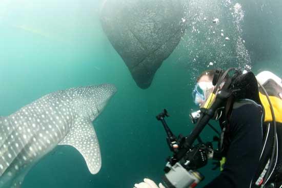 tiburón ballena y burbujas buceador