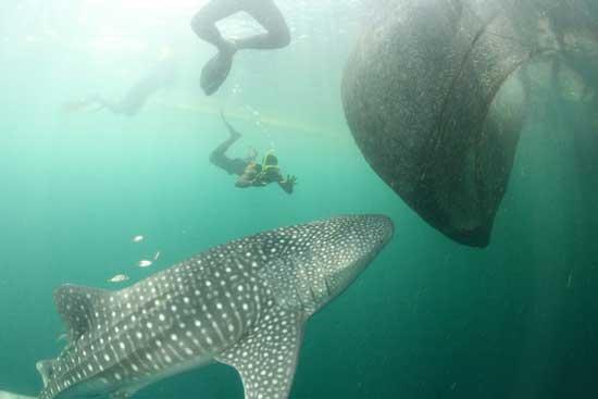 tiburón ballena se acerca a la red de pesca