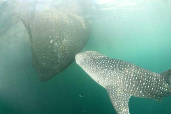 tiburón ballena olfatea la red de pesca