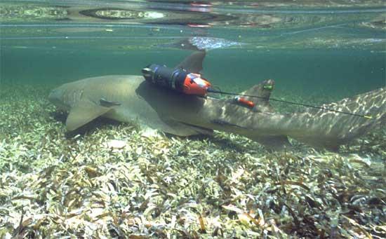 tiburón con crittercam